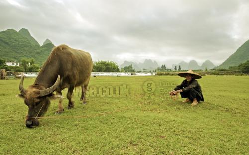water buffalo  the farmer